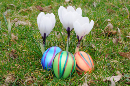 easter eggs with crocus flowers