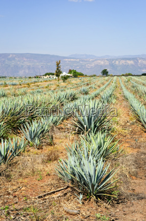 agave cactus field in mexico