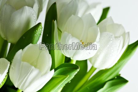 weisse tulpen mit wassertropfen