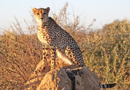gepard auf einem termitenhuegel