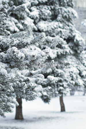 fir trees in city park at