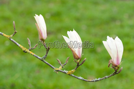 magnolie in bluete