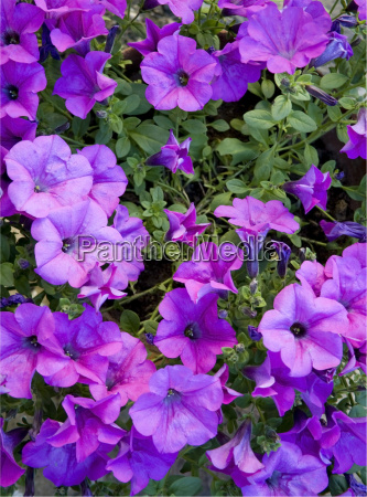 blume pflanze lila veilchen violett purpur