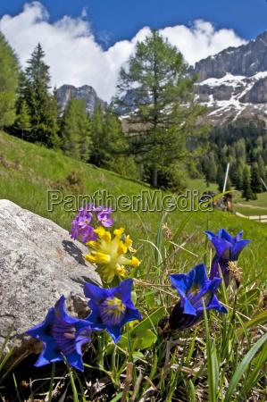 bergblumen in suedtirol