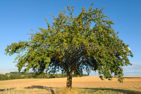 apple tree before harvest