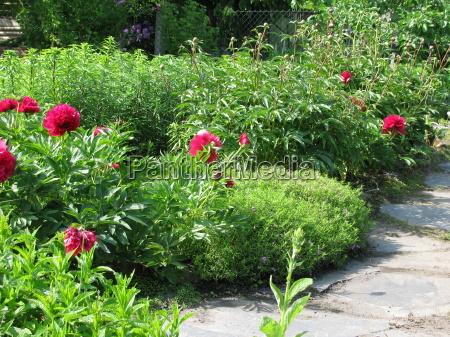 blumengarten mit pfingstrosen