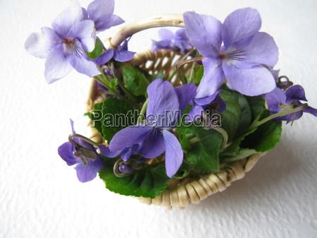 gesammelte duftveilchen viola odorata