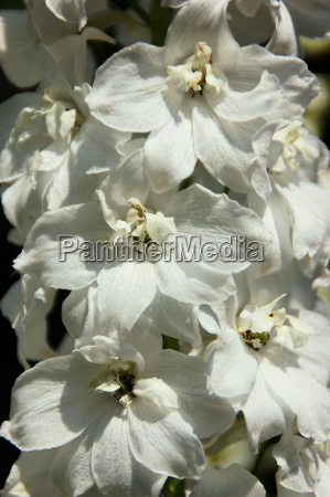 delphiniums white