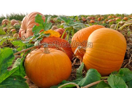 pumpkins shortly before harvest