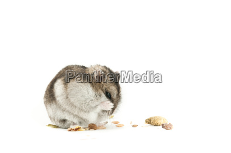 hamster isoliert