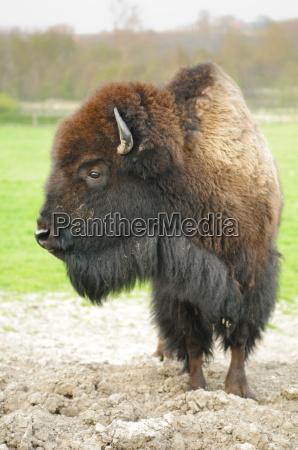 amerikanisch amerikaner vieh rinder rindvieh bison