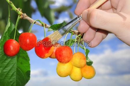 sommer sommerlich reif frucht obst kirsche