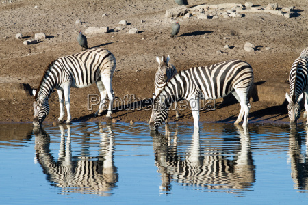 zebras beim drinken