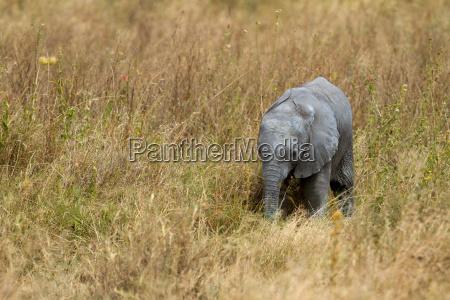 afikanischer elephant