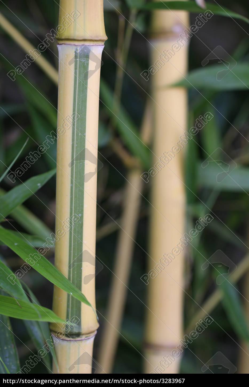 bambus - 3283967