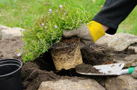 staude einpflanzen shrub planting 10