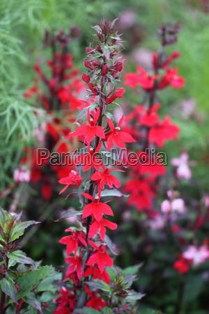lobelia speciosa fan scarlet