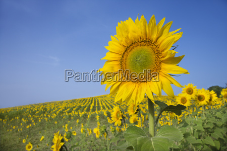 sunflower in a field
