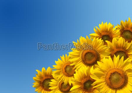 sommer sommerlich sonnenlicht blume sonnenblume pflanze