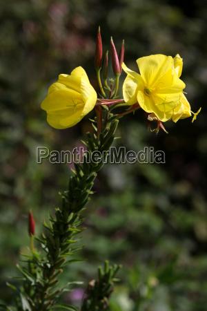 oenothera biennis common evening primrose