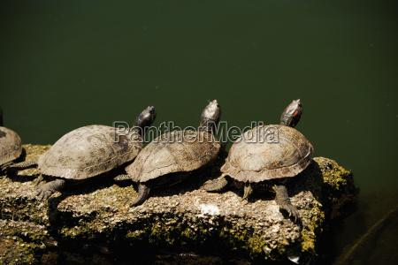 high angle view of turtles on