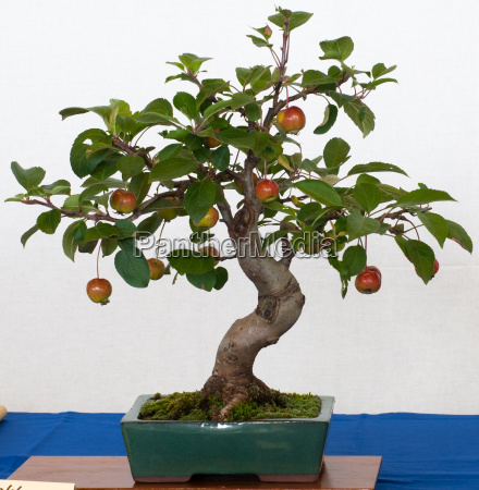 malus halliana als bonsai