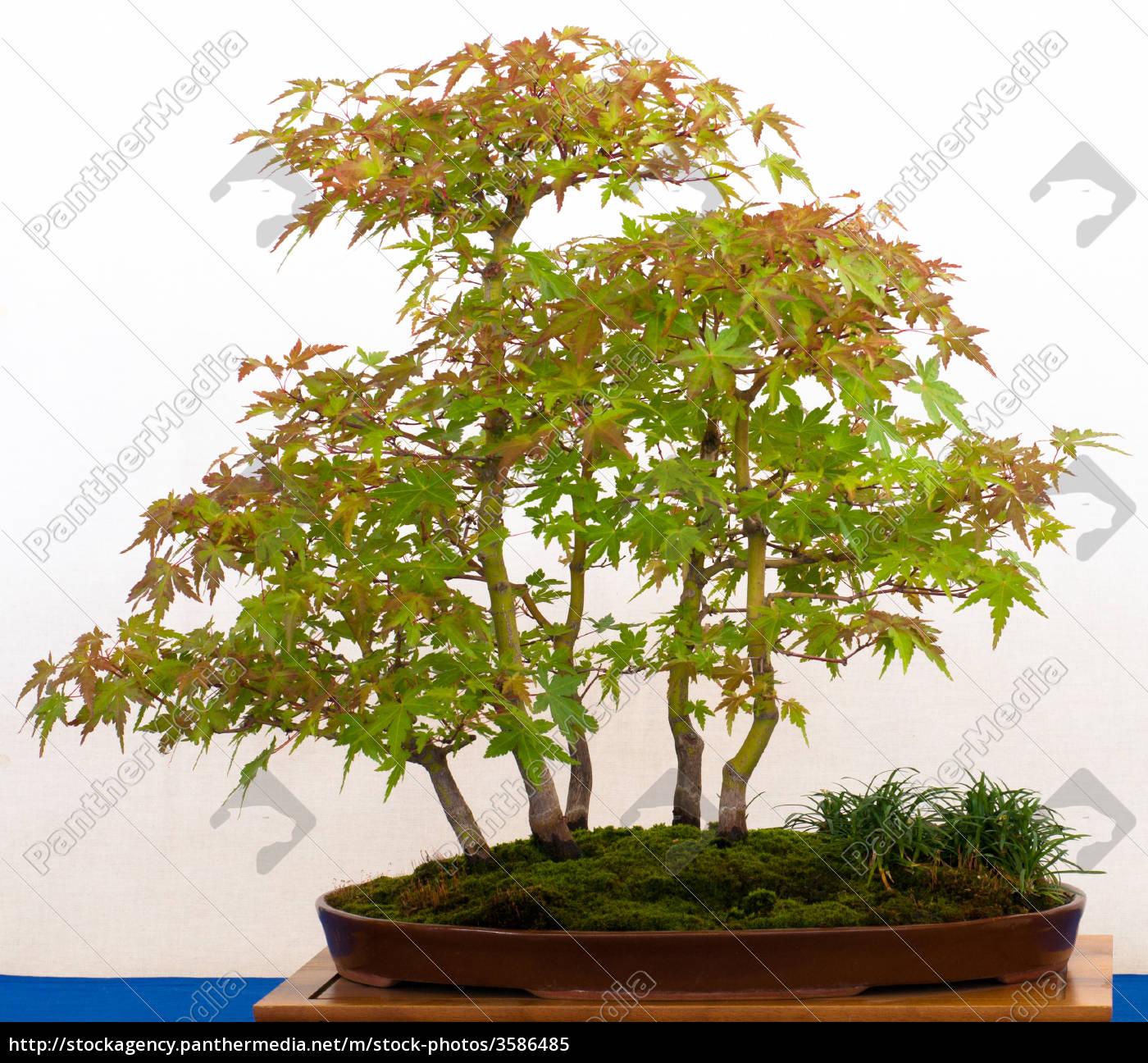 f cherahorn als bonsai wald stockfoto 3586485. Black Bedroom Furniture Sets. Home Design Ideas