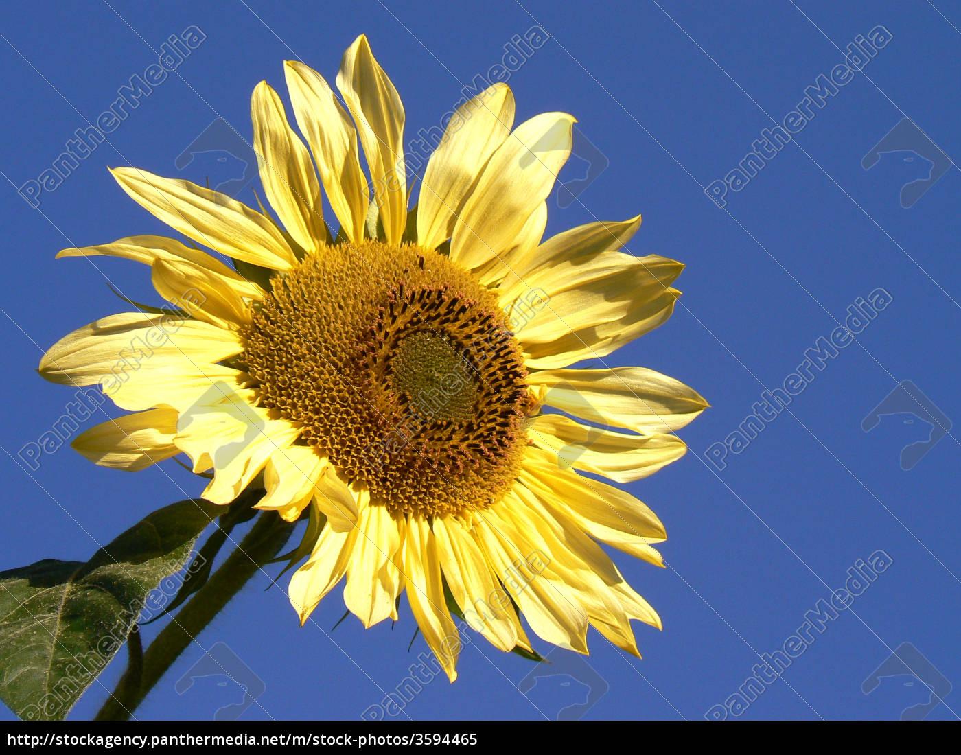 sonnenblume, vor, blauem, himmel - 3594465
