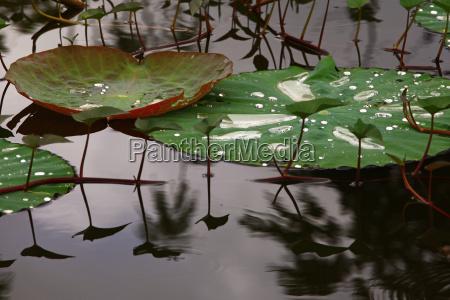 lotus blaetter
