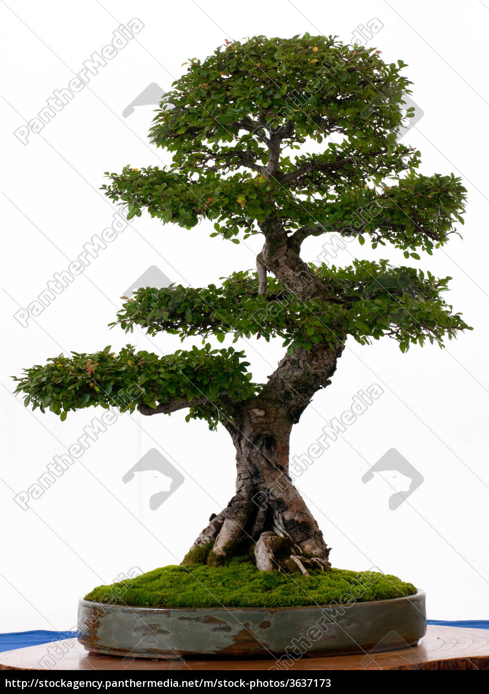 chinesische ulme als bonsai stockfoto 3637173 bildagentur panthermedia. Black Bedroom Furniture Sets. Home Design Ideas
