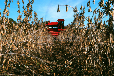 red combine harvesting soy beans with