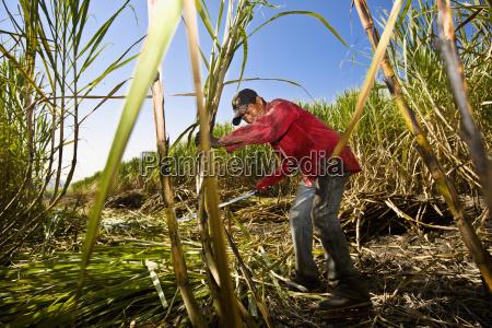 farmer harvesting sugar canes in a
