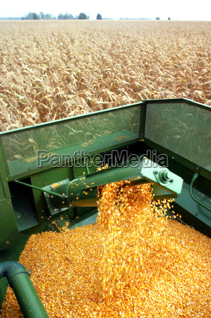hopper fills with corn as combine