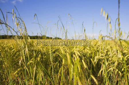 wheat crop in a field loire