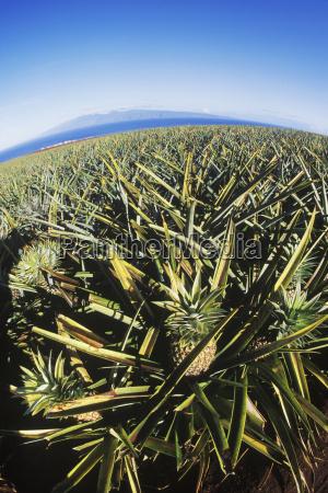 hoehenwinkel auf eine ananasplantage