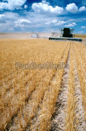 custom harvest combines harvest wheat with