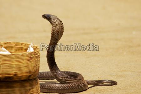 seitenprofil einer kobra pushkar rajasthan indien