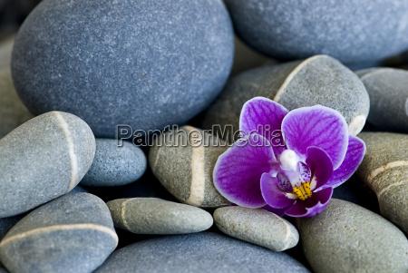 orchidee und kiesel