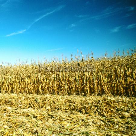 wheat grown on a field