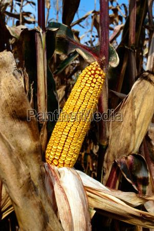 ear of corn in field ready