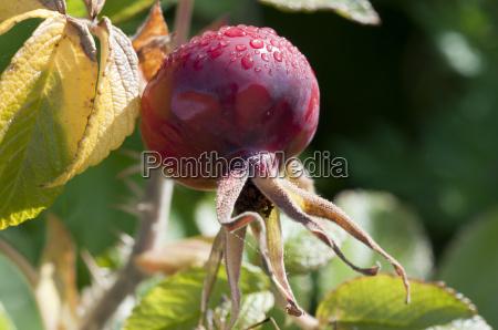 rosehip rosa canina