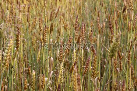 stubborn winter wheat