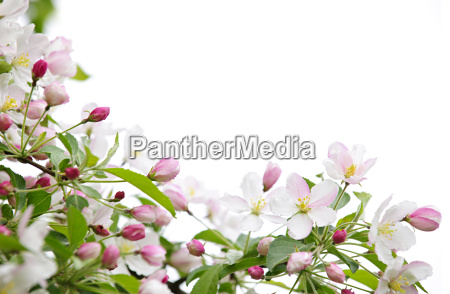 apple blossoms background