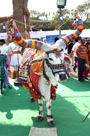 holy hindu bull