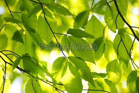 gruene fruehlingsblaetter