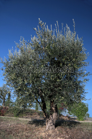 olive tree in tuscany