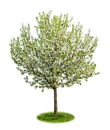 isolierte bluehenden apfelbaum