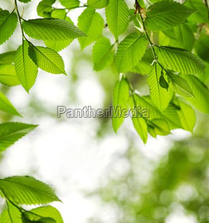 medio ambiente hojas ramas primavera olmo