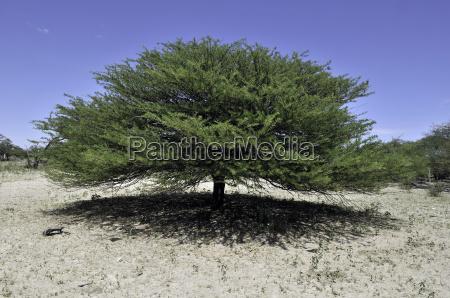 camelthorn acacia