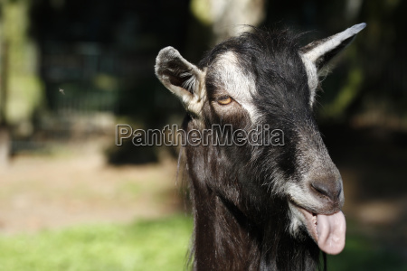 goat showing the tongue